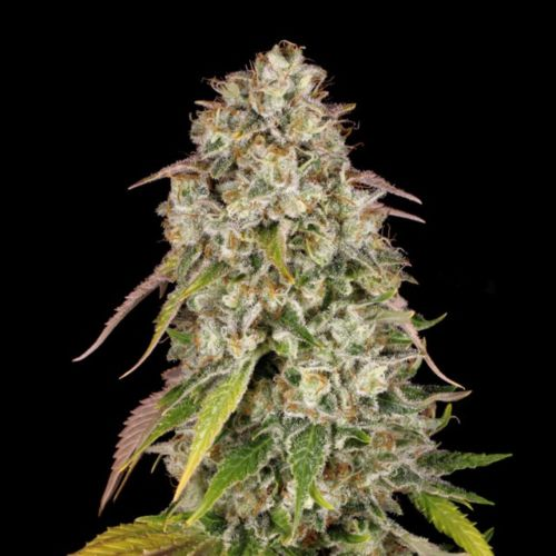 Akorn Female Cannabis Seeds by T.H.Seeds