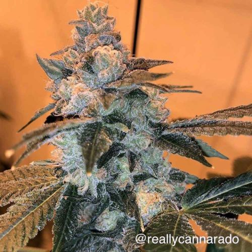 Trifi Sundae Female Cannabis Seeds by Cannarado Genetics