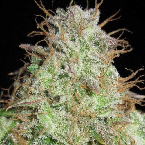 Cookie Balboa Regular Cannabis Seeds by Ultra Genetics