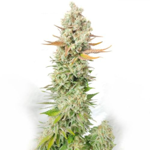 Sour Grape Widow Female Cannabis Seeds by Ultra Genetics