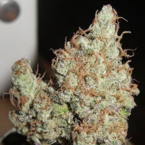 Super Silver Grapefruit Female Cannabis Seeds by Ultra Genetics