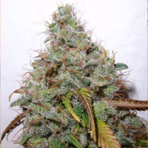 White Berry Female Cannabis Seeds by Paradise Seeds