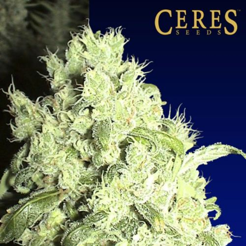 White Indica Cannabis Seeds